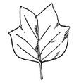 leaf of tulip tree have simple leaves pattern vector image vector image