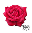 red rose nature vector image vector image