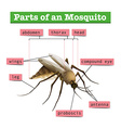 Different parts of mosquito vector image vector image
