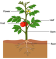 showing the parts of a tomato plant vector image