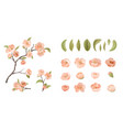 cherry flower set isolate on white background vector image