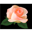 beautiful tea rose vector image vector image