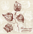 physalis line drawing vector image
