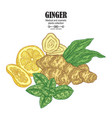 ginger plant set hand drawn composition with vector image vector image