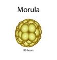 Human morula on isolated vector image
