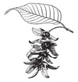 carpinus caroliniana vintage vector image vector image