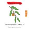 medicinal herbs of china chaulmoogra tree vector image vector image