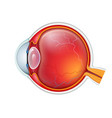 human eye crossection close up isolated vector image vector image