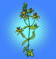hypericum medicinal plant vector image vector image