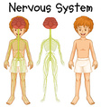 Nervous system of human boy vector image