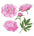 peony flowers bud leaves hand drawn sketch vector image