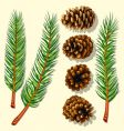 Pine tree branches and cones vector | Price: 3 Credits (USD $3)