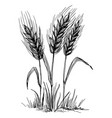wheat ears isolated on white background vector image