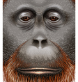 An orangutan vector image vector image