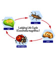 a ladybug life cycle vector image vector image