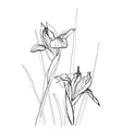 drawing irises vector image vector image