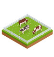 isometric brown and white cows in a grassy field vector image