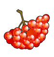 bunch of red rowan berries isolated on white vector image vector image