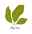 bay leaves isolated on whit vector image vector image