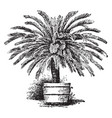 cycas revoluta vintage vector image vector image