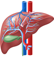 Human Internal Liver and Gallbladd vector image vector image