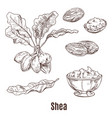 sketches of shea nuts and butter in bowl or cup vector image vector image