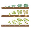 tomato cabbage and potato plant growing and vector image