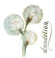 Watercolor dandelion vector image