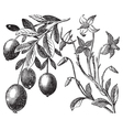 Cranberry vintage engraving