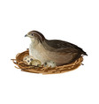 quail at nest vector image