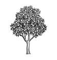 ink sketch pear tree vector image vector image
