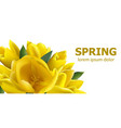 yellow tulips spring card beautiful vector image