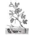 Peanut or Groundnut vintage engraving vector image