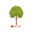 rowan tree with red berries and name vector image