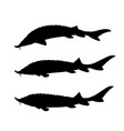 sturgeon fish set vector image