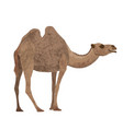 camel on a white background vector image vector image