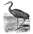 sandhill crane vintage vector image vector image