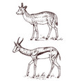 african wild antelope deer or doe duiker and vector image vector image