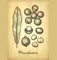 ink sketch of macadamia vector image