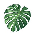 monstera green leaf realistic design isolated vector image