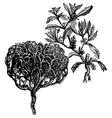 tumbleweed vintage engraving vector image vector image