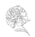 peony flower head petals stem leaves isolated vector image vector image