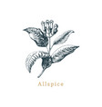 allspice sketch drawn spice herb vector image