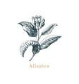 allspice sketch drawn spice herb vector image vector image