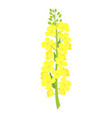 rapeseed flowers on white background vector image vector image