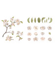 cherry flower set isolate on white background vector image vector image