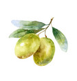 isolated watercolor green olives on branch vector image