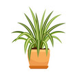 chlorophytum house plant in flower pot vector image