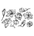 magnolia flowers in engraving style vector image