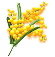 yellow mimosa flower branch on white background vector image vector image